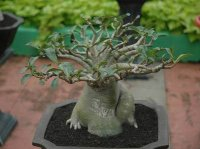 Adenium Socotranum 'Petch Banna' 5 Seeds