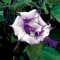 Datura 'Double Blackcurrant Swirl' 5 Seeds