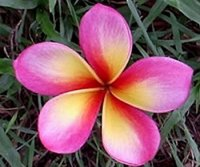 Wishy Washy Plumeria Seeds (6 Seeds)