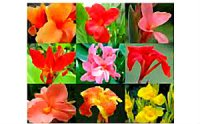 Canna Lily Seeds 'Mixed' (6 Seeds)
