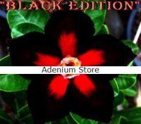 Adenium Obesum 'Black Edition' 5 Seeds