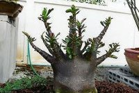 Adenium Arabicum 'Black Mix' 5 Seeds