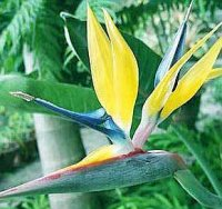 Bird of Paradise Strelitzia Seed Germination & Growing Guide