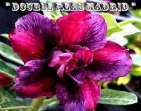 Adenium Obesum 'Double Real Madrid' 5 Seeds