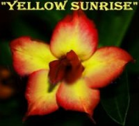 Adenium Obesum 'Double Yellow Sunrise' 5 Seeds