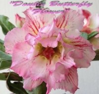 New Adenium 'Double Butterfly Flower' 5 Seeds