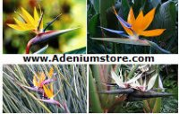Bird of Paradise Strelitzia Seeds 'Mixed' (5 Seeds)