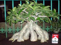 Adenium Socotranum 'Golden Crown' 5 Seeds