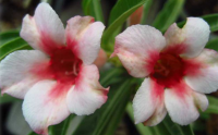 Adenium Obesum ' in Love Once More' 5 Seeds