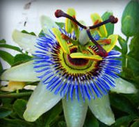 Passion Flower Seed Passiflora Germination & Growing Guide
