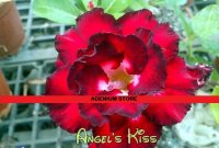 New Adenium 'Angels Kiss' 5 Seeds