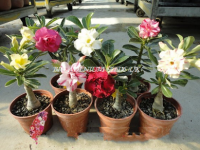 Grafting Adenium Plants
