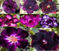 100 x Purple Mix Adenium Obesum Seeds (BULK)