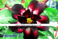 New Adenium 'Artemis 2' 5 Seeds