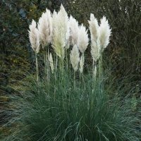 Pampas Grass Seed Germination & Growing Guide