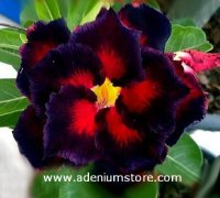 Adenium Obesum Double Black Madonna 5 Seeds