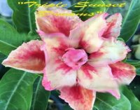 Adenium Obesum 'Triple Sunset of Dream' 5 Seeds