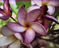 Violet Cloud Plumeria Seeds (6 Seeds)