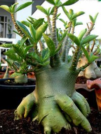Adenium Arabicum 'PNW x Black Knight x 5 Seeds