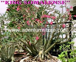 Adenium Somalense 'King Somalense' (5 Seeds) - Click Image to Close