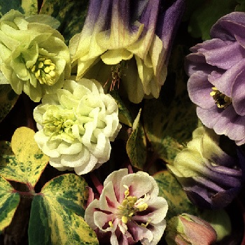 Aquilegia Alchemists Gold (20+ Seeds)