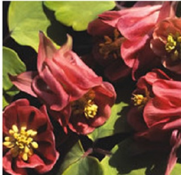 Aquilegia Burnished Rose (20+ Seeds)