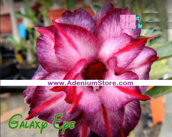 Adenium Obesum 'Galaxy Eye' 5 Seeds
