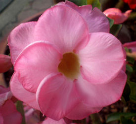 Adenium Seeds \'Double Rose Pink\' 5 Seeds