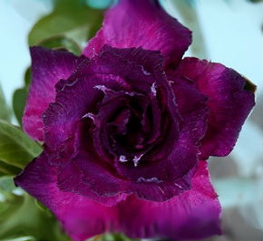 Adenium Obesum 'Triple Dark Purple' (5 Seeds)