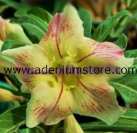 Adenium 'Bright of Yellow' (5 Seeds)