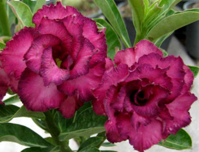 Adenium Seeds \'Poppy Violet\' (5 Per Pack)