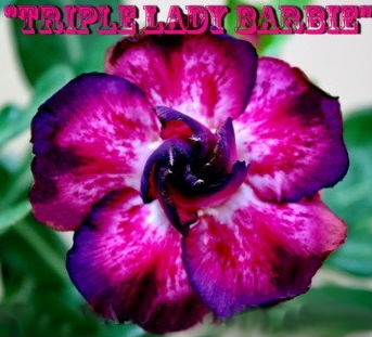 Adenium Obesum Triple Lady Barbie 5 Seeds