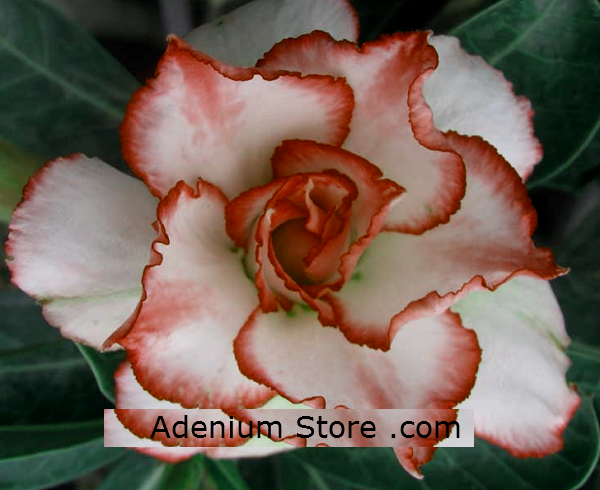 Adenium Obesum Triple Intersteller 5 Seeds