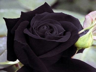 Black Rose \'Midnight\' 10 Seeds