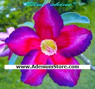 New Adenium \'Blue Shine\' 5 Seeds