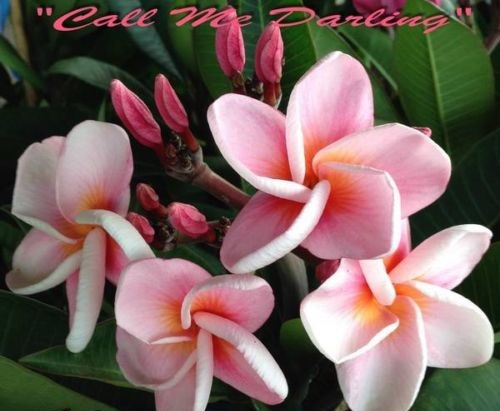Plumeria Seeds \'Call Me Darling\' 6 Seeds