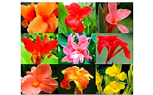 Canna Lily Seeds \'Mixed\' (6 Seeds)