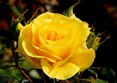 Yellow Rose Cheerful Joy 10 Seeds