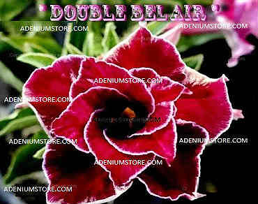 Adenium Obesum \'Double Bel Air\' 5 Seeds