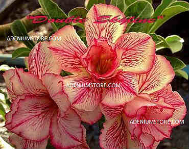 Adenium Obesum \'Double Skyline\' 5 Seeds