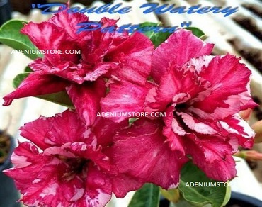 Adenium Obesum \'Double Watery Pattern\' 5 Seeds