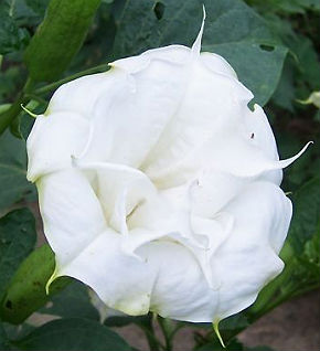 Datura Seeds \'Double Cream White\' (5 Seeds)