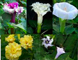 Datura Seeds \'Mixed\' (10 Seeds)