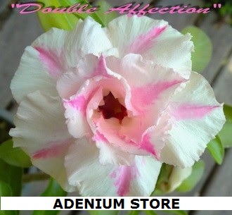 Adenium \'Obesum Double Affection\' 5 Seeds