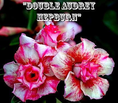 Adenium obesum double audrey hepburn 5 seeds nadob dbaudhep adenium obesum double audrey hepburn 5 seeds mightylinksfo Choice Image