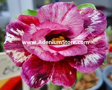 Adenium Obesum \'Double Beauty Party\' 5 Seeds