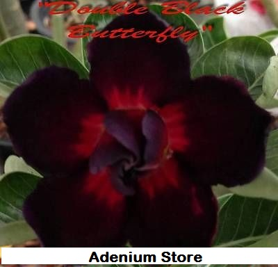 Adenium \'Double Black Butterfly\' 5 Seeds