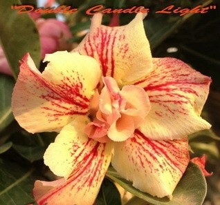 New Adenium \'Double Candle Light\' 5 Seeds