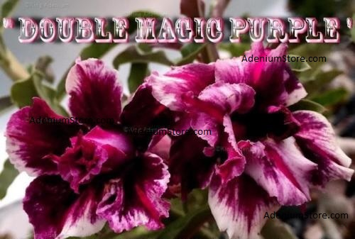 Adenium Double Magic Purple 5 Seeds