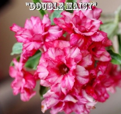 Adenium \'Double Maisy\' 5 Seeds